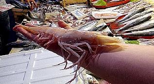 T�rkiye'de denizden ��kan en b�y�k karides g�renleri �a��rt�yor