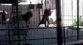 Kızgın aslan terbiyecisini böyle öldürdü