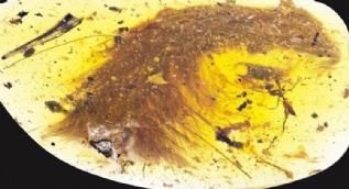 Kehribar taşında bulundu! 99 milyon yıllık
