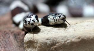 Çift başlı kobra köylüler arasında şaşkınlığa neden oldu