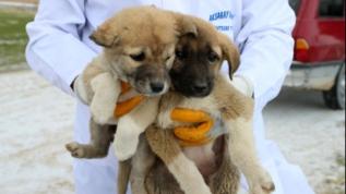 Yaylada ölüme terk edilen 26'sı yavru 28 köpeğe Belediye sahip çıktı