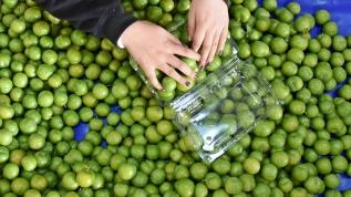 Üreticiler artan meyve talebini karşılayabilmek için yoğun mesai harcıyor