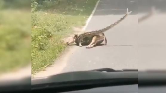 İnanılmaz anlar! Ceylanı kurtarmaya çalışırken yılan saldırdı