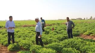 Harran Ovası'nda yeni alternatif ürün: Yer fıstığı