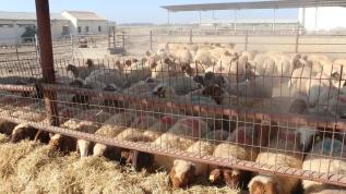 TİKA'dan Kuzey Kıbrıs Türk Cumhuriyeti'ndeki çiftçilere küçükbaş hayvan desteği