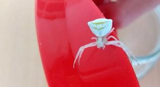 'Köşeli yengeç örümceği' görenleri şaşırtıyor