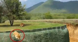 Aslan 7 metrelik çukura böyle atladı