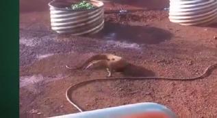 Su hortumunu yılan sanan dev kertenkele böyle saldırdı