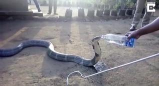 Devasa kobraya pet şişeden su içiren cesur insanlar